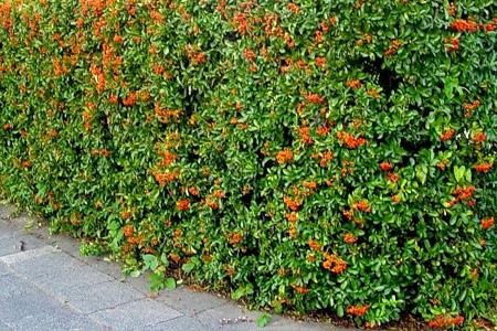 Siepi e giardini potatura e taglio siepi for Siepe di lauro